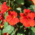 rodebloemen