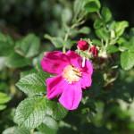 paarsebloemcloseup